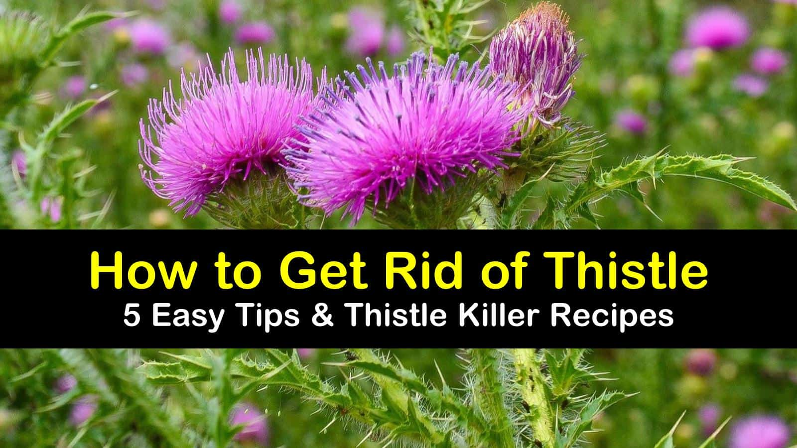 how to get rid of thistle titleimg1