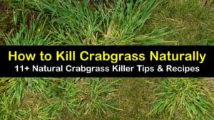 how to kill crabgrass titleimg1