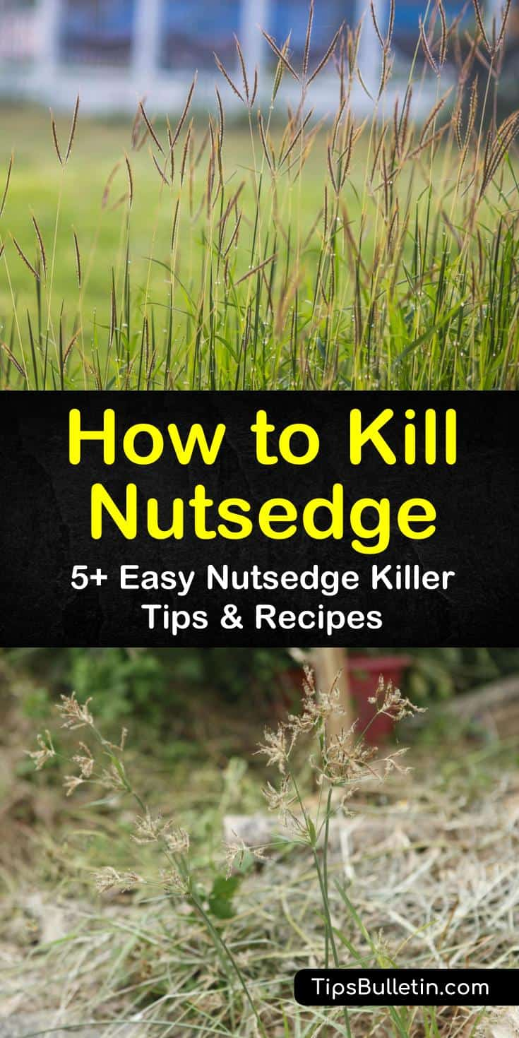 Learn how to eradicate yellow nutsedge by removing the weed, tubers, and nutlets completely from the ground and discarding. Kill purple nutsedge with herbicide or by spreading sugar in the spring. #howtokillnutsedge #howtokillnutsedge #killnutsedge