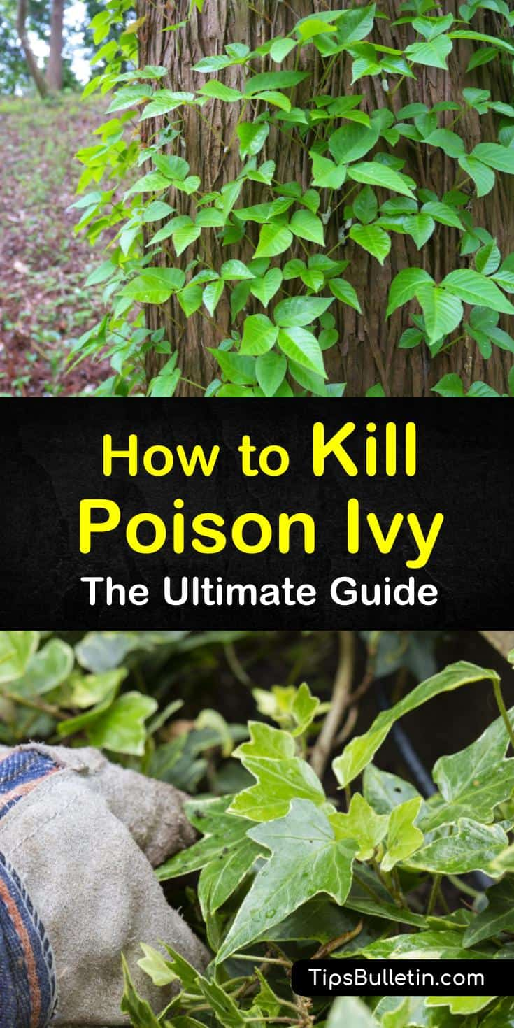 Find out how to kill poison ivy naturally. Our guide shows you how to get rid of poison ivy on skin, in yards, and on plants and trees with bleach, white vinegar, and other home remedies. You'll never need to start itching again. #poisonivy #poisonoak #killpoisonivy