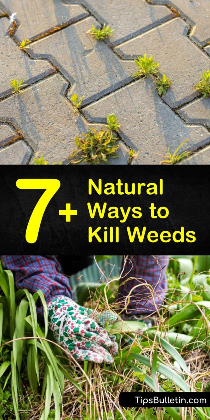 Kill crabgrass, dandelions, and other common weeds using natural ingredients. Use weed killing recipes with white vinegar, baking soda, dish soap, and Epsom salt instead of harmful chemicals. #killweedsnaturally #naturalweedkiller #howtokillweeds