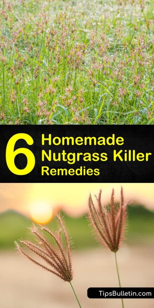 Learn how to get rid of nutgrass with our homemade nutgrass killer recipes. We show you the best way to wipe out yellow nutsedge the DIY way with a homemade weed killer such as vinegar and mulch. #nutgrass #nutgrasskiller #killnutsedge