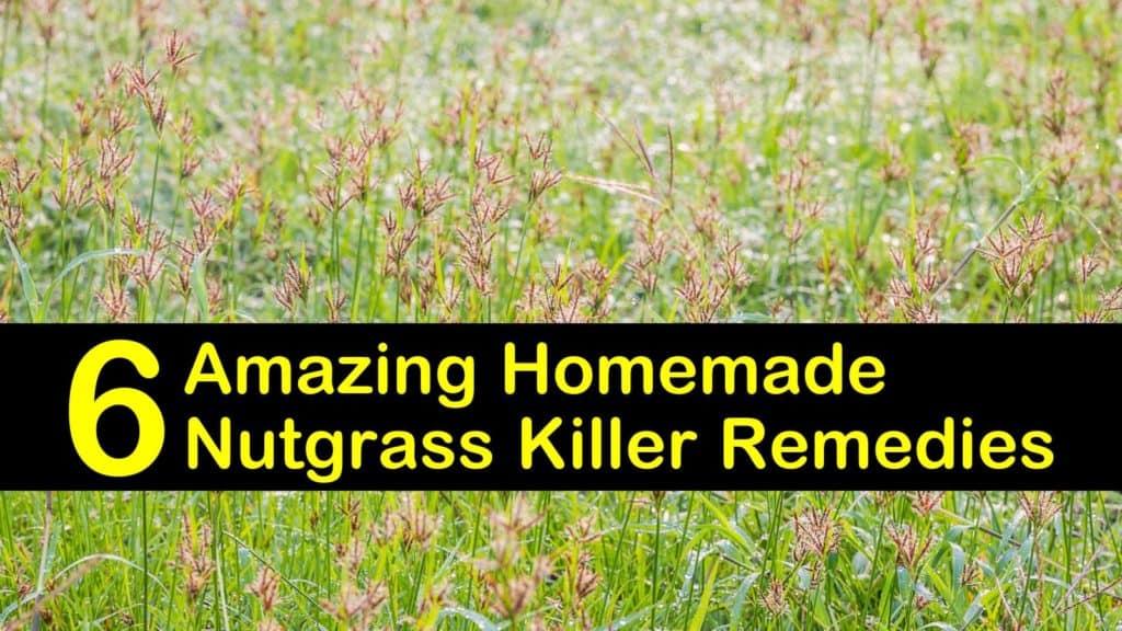 homemade nutgrass killer remedies titleimg1