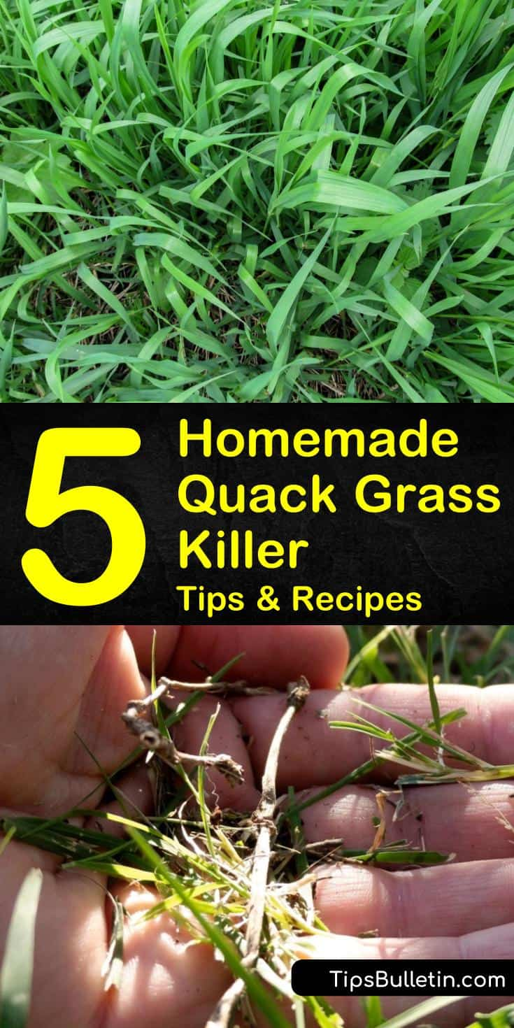 Discover how to make a homemade and organic quack grass killer using household items. Use DIY natural remedies to remove quackgrass from driveways that are safe for use in flower beds and lawns. Learn lawn care tips for weed prevention. #quackgrasskiller #killingqauckgrass #removequackgrass
