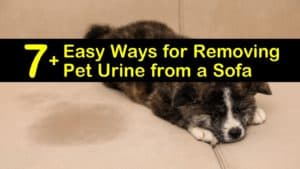 how to clean urine from a couch titleimg1