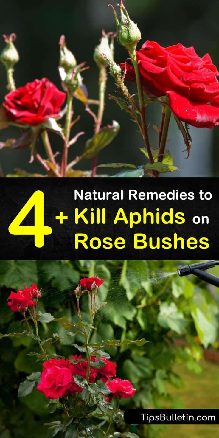 Learn how to get rid of an aphid infestation on your rose bush naturally. Eliminate and control garden pests by using beneficial insects such as lacewings. Make a homemade organic pesticide using neem oil, soapy water, and a spray bottle. #aphids #roses #aphidsonroses