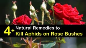 how to get rid of aphids on roses titleimg1