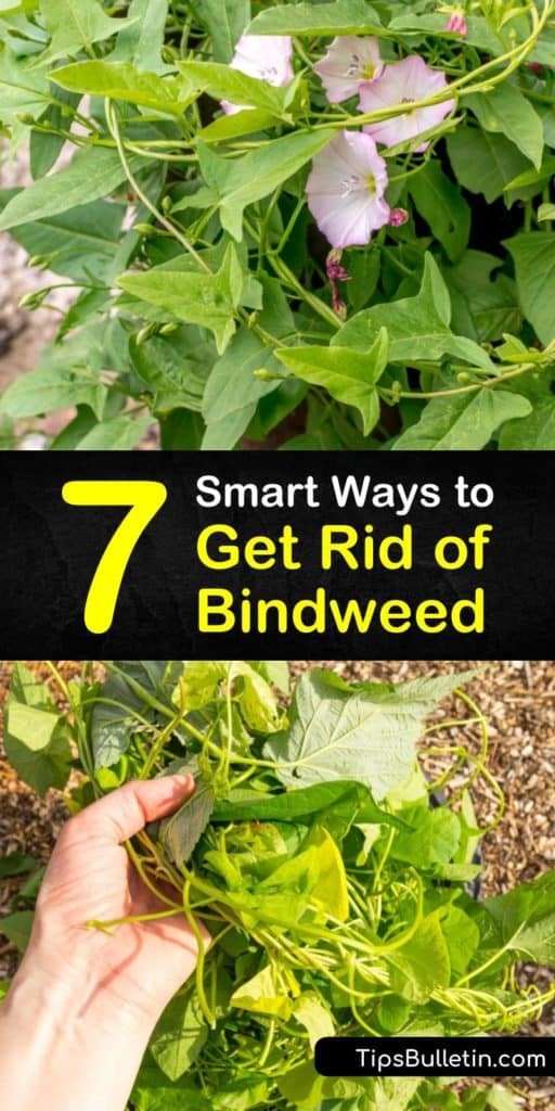 Find out how to get rid of bindweed with our comprehensive guide. We show you how to kill wild morning glory and remove its root system so your garden can stay green and flawless. #bindweed #morningglory #removebindweed
