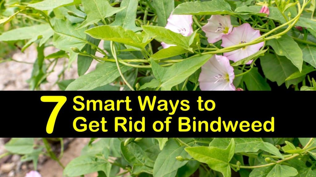 how to get rid of bindweed titleimg1