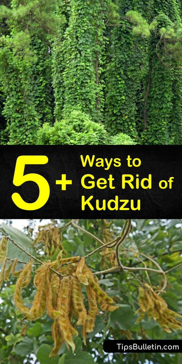 Learn how to control and eliminate kudzu from your property to prevent the weedy vine from taking over your home and lawn. Remove the kudzu vine off of trees, dig up the root system, or apply herbicides to get rid of this aggressive weed. #kudzukiller #howtokillkudzu #homemadekudzukiller