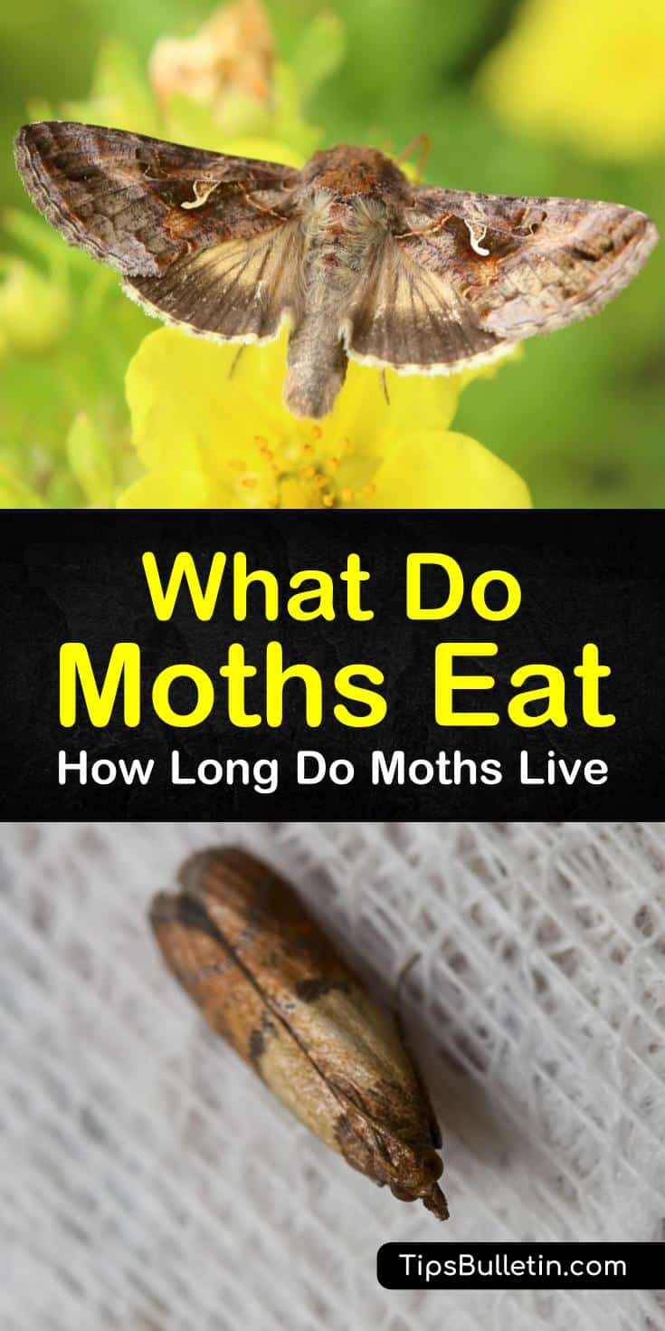 Discover the life cycle of the Lepidoptera or moth, and learn how to prevent an infestation in your home. The webbing clothes moth does not have the mouthparts to chew your clothing, but the larvae do have a strong appetite for natural fibers. #whatdomothseat #moths #getridofmoths