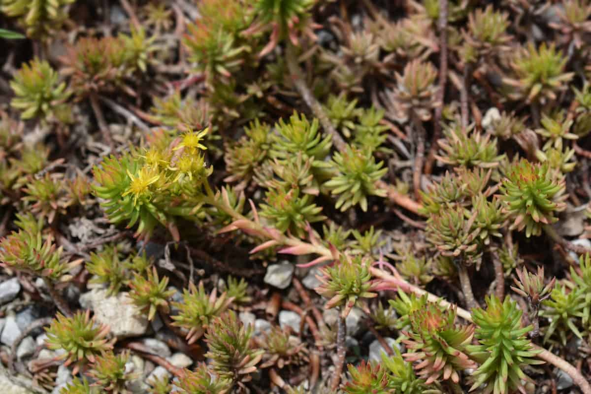 Angelina sedum is a perennial that likes partial to full sun