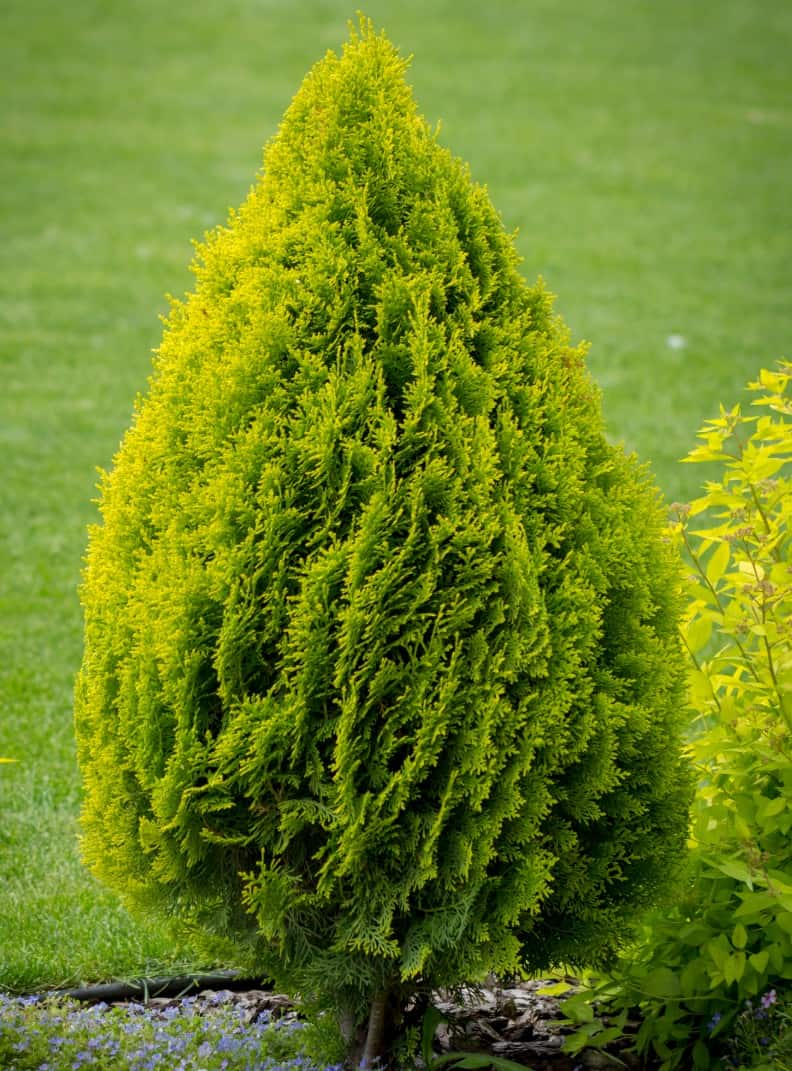 arborvitae is an evergreen shrub that grows fast