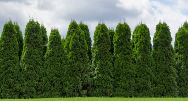 arborvitae is also called Green Giant