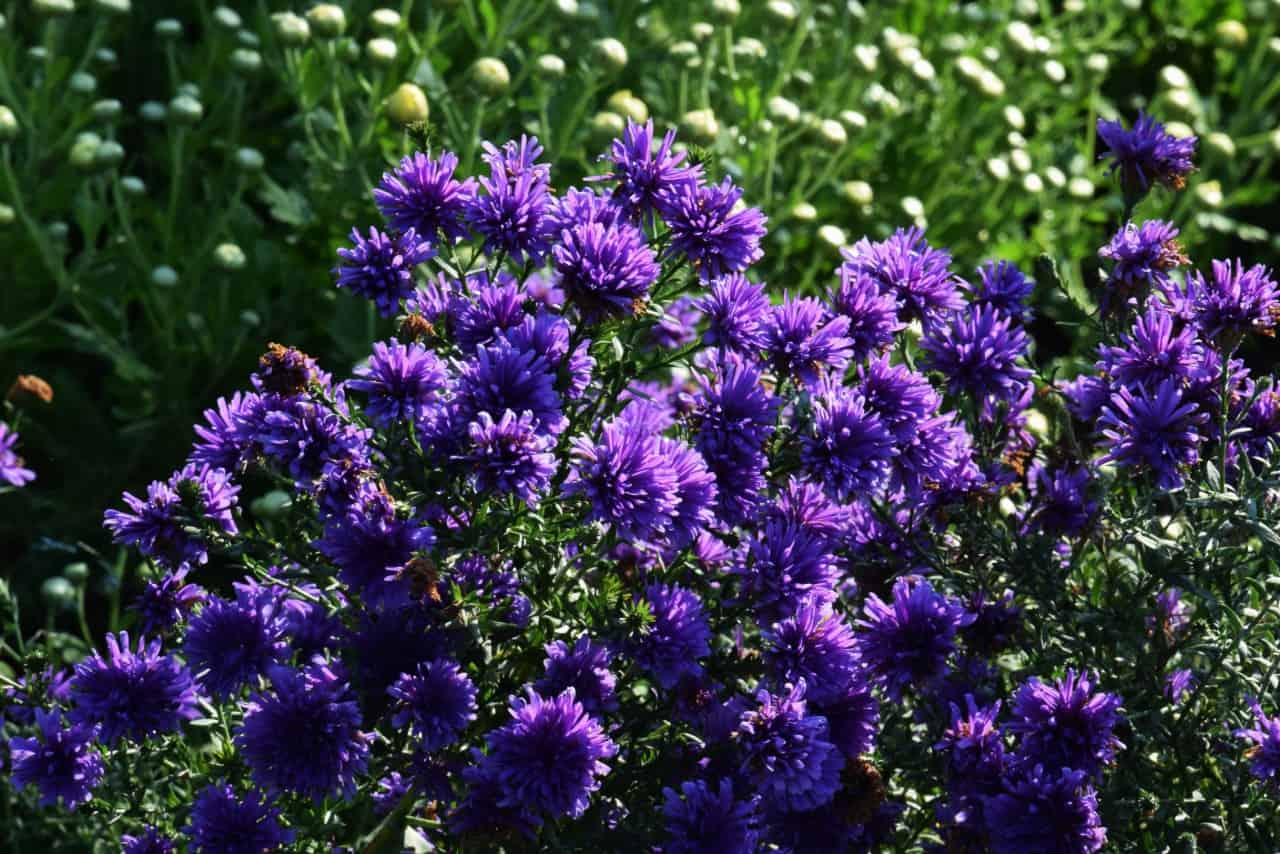 asters are daisy-like in appearance