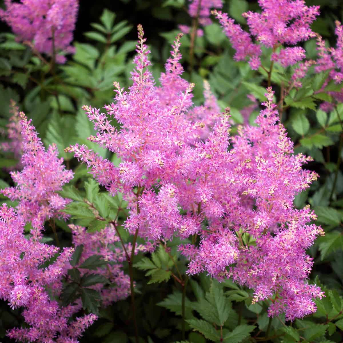 the fragrant blooms of the astilbe attract birds