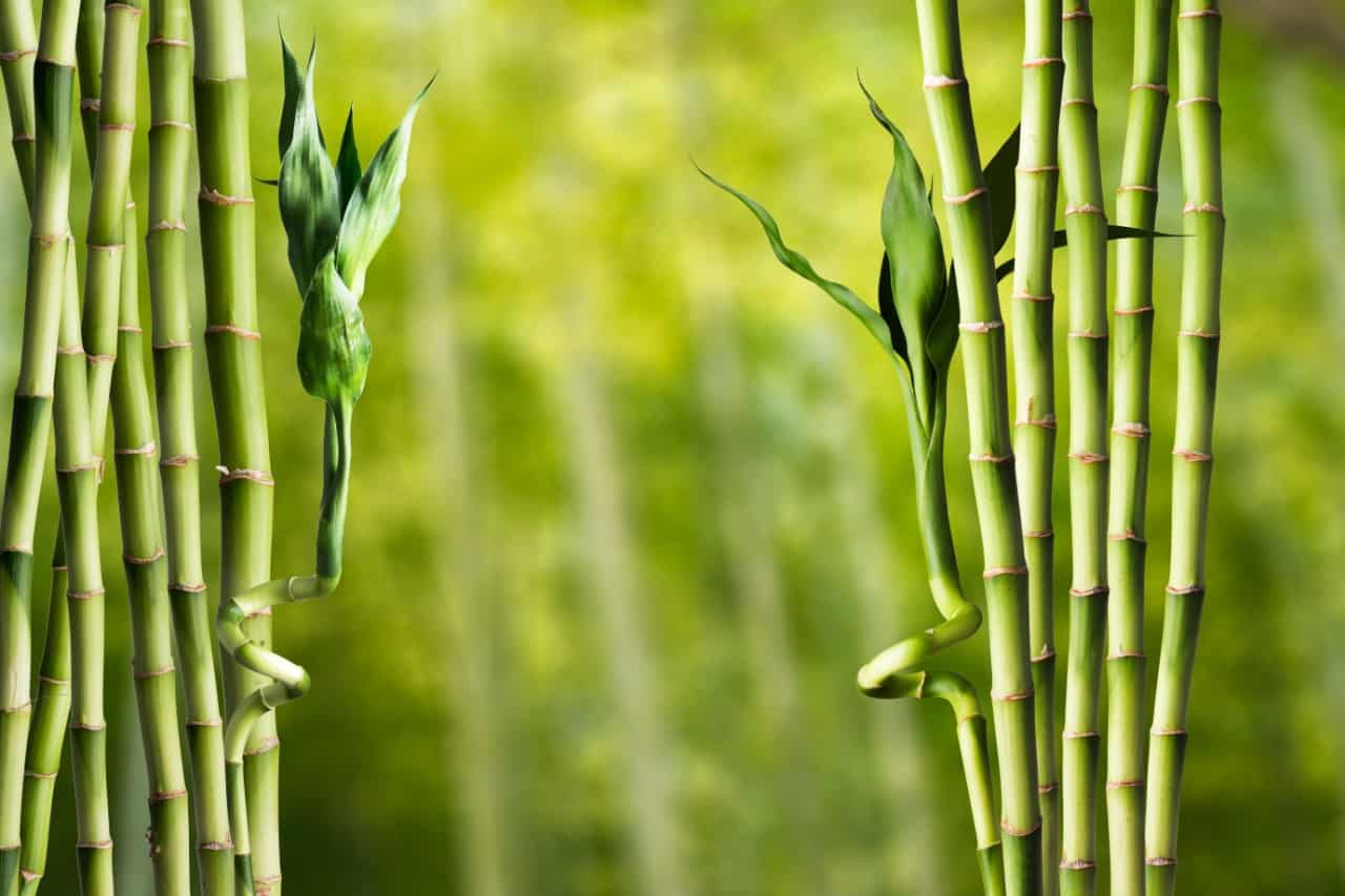 bamboo is an unusual choice for a living fence