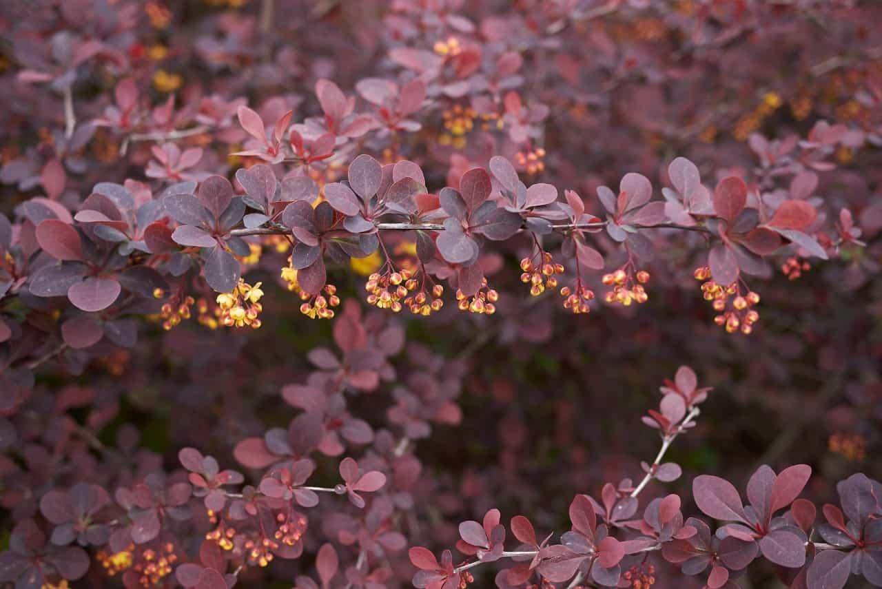 the barberry shrub has vibrant foliage