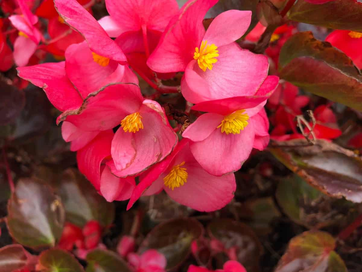 begonias come in a variety of shapes and sizes