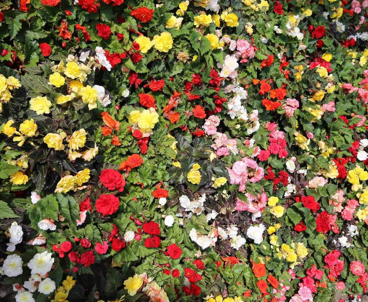 begonias come in a wide variety of colors