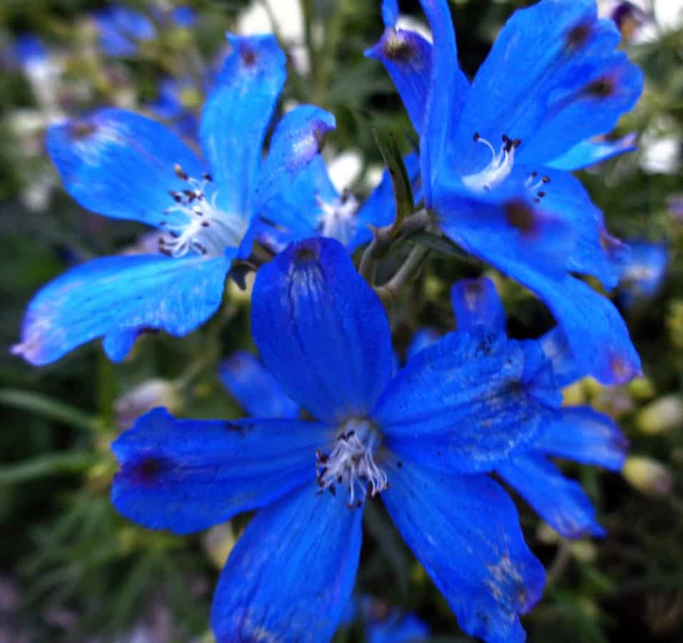 bellflower is the perfect perennial for zone 6