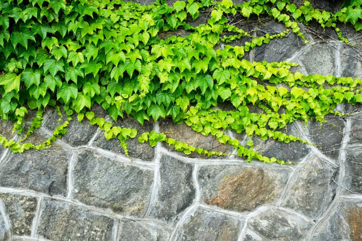 Boston ivy is not just easy to grow but a vigorous grower
