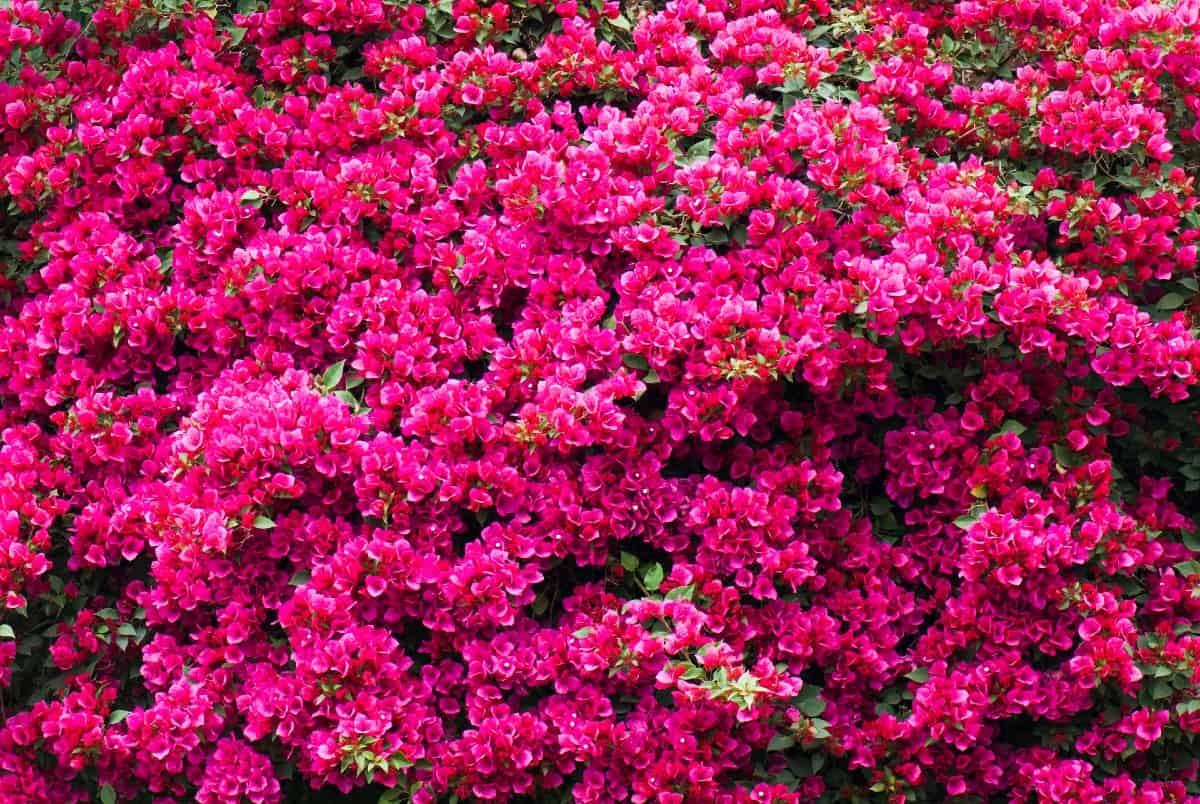 bougainvillea is a tropical beauty