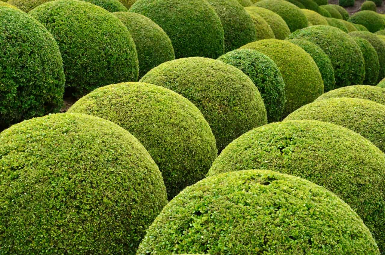 boxwood shrubs are easily trimmed into topiaries
