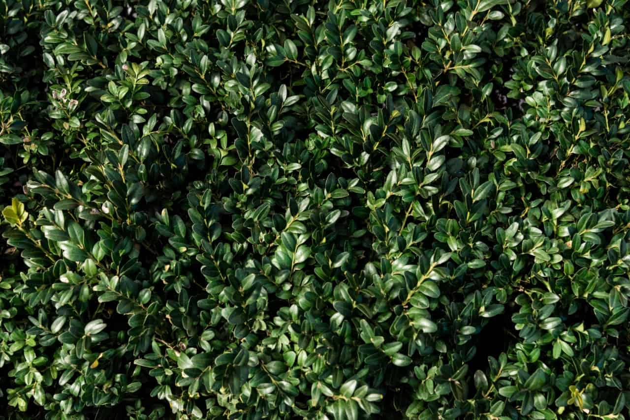 boxwood is a popular plant for a privacy fence