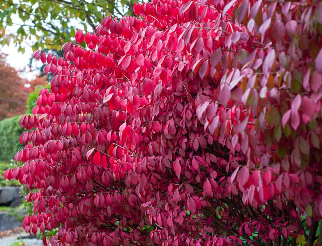 burning bush is a deer resistant shrub with spectacular foliage