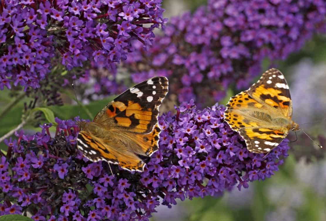 butterfly bush is fast growing and loved by butterflies and birds