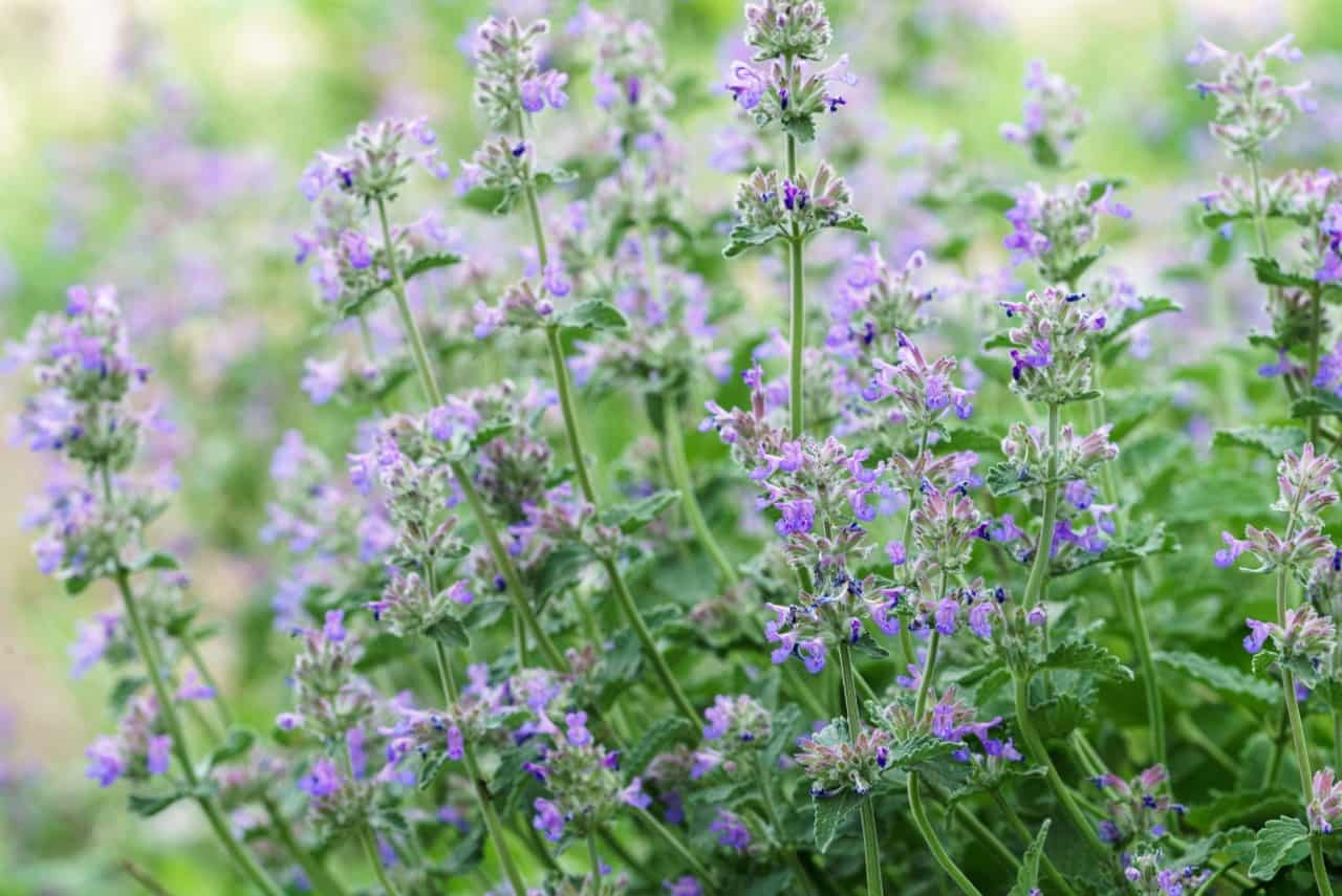 catmint is very easy to grow, making it great for beginning gardeners