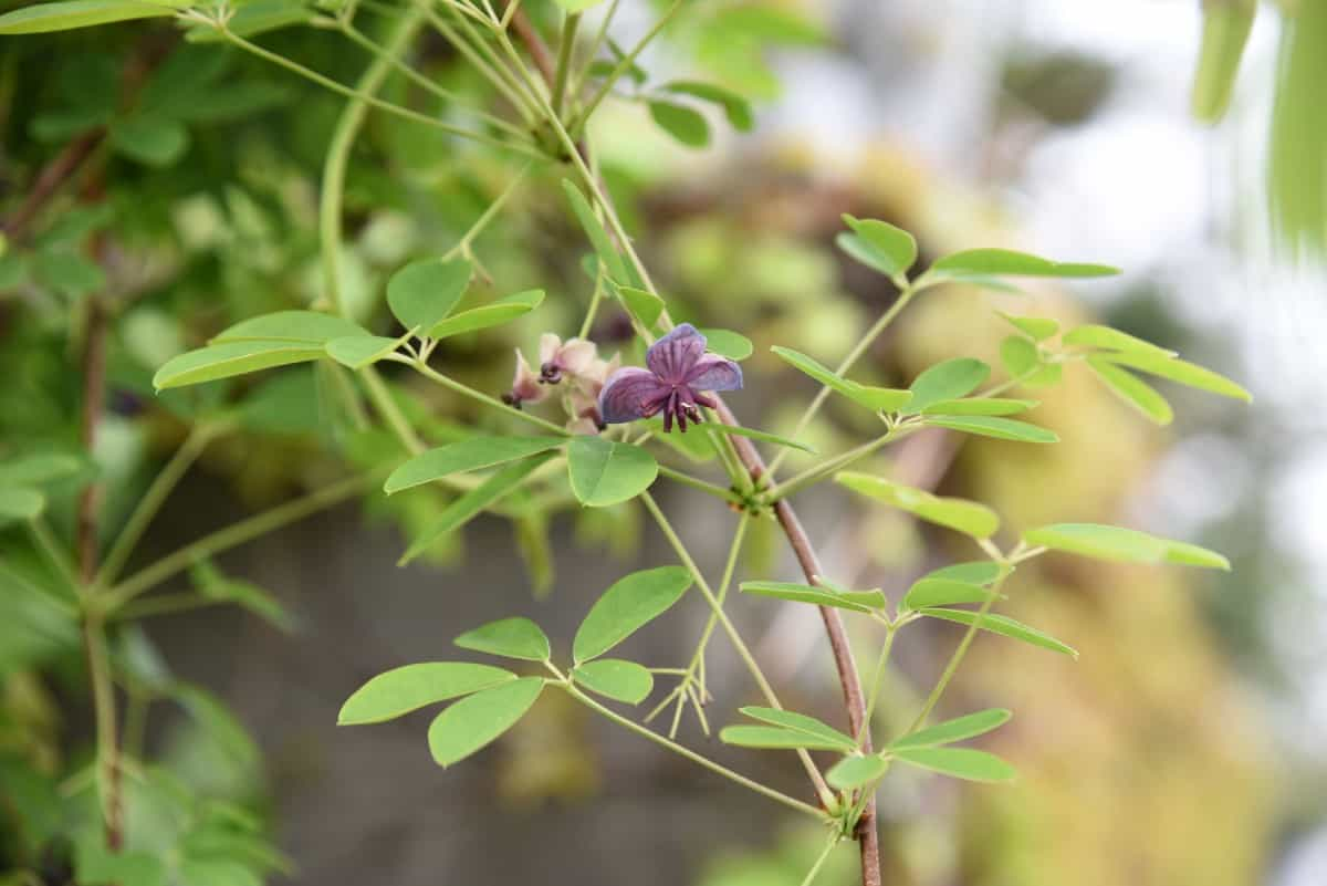the chocolate vine perennial is known for its delicious scent