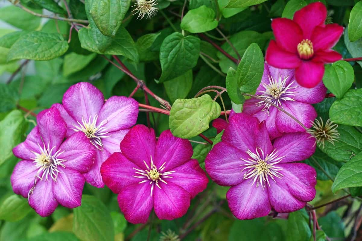 clematis is an easy to grow climbing vine