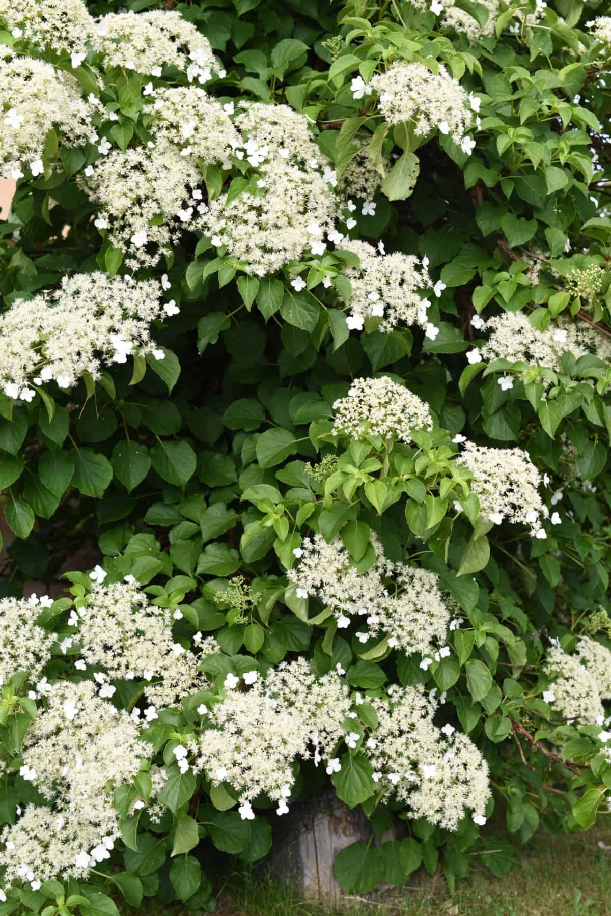 climbing hydrangea has lovely clusters of white flowers