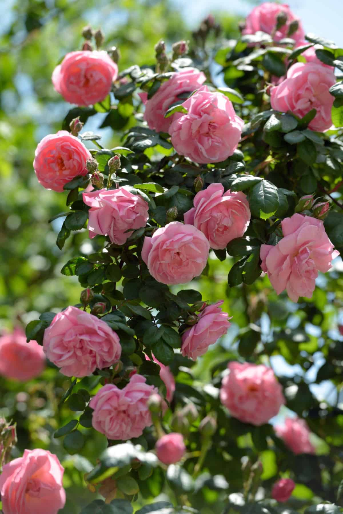 climbing roses are a favorite for gardeners