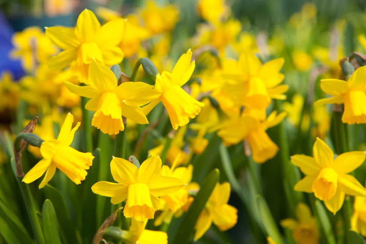 daffodils are one of the earliest spring bloomers