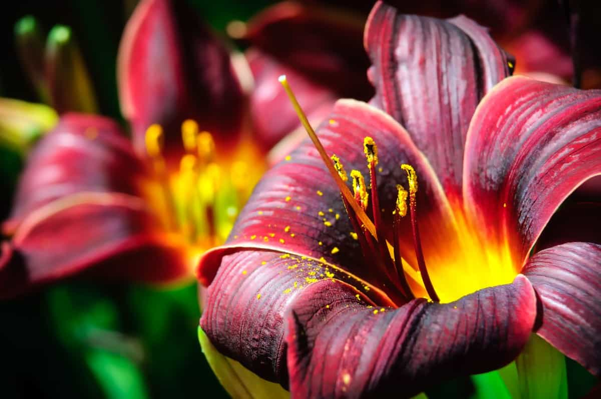 the daylily prefers full to partial sun to thrive