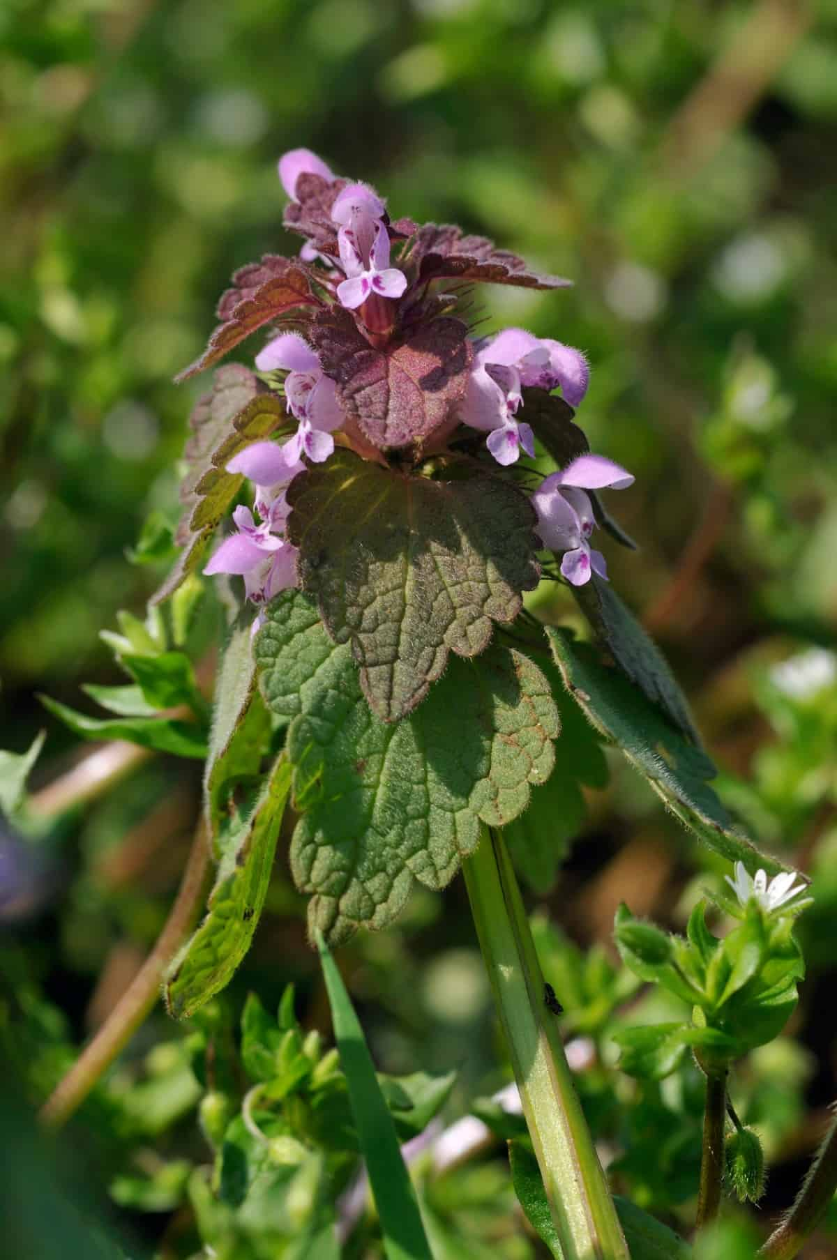 deadnettle is a drought-resistant shade plant
