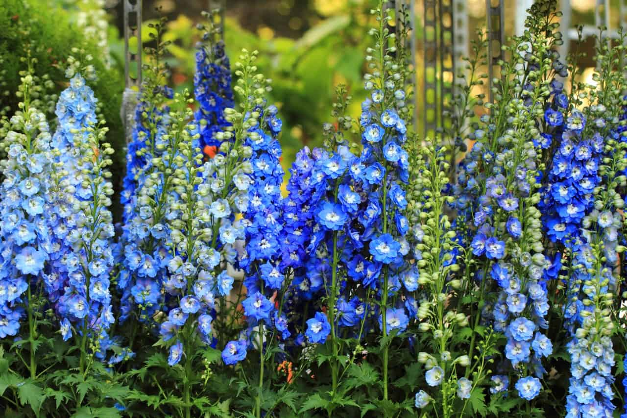 delphinium is a spiked perennial that does well in zone 6