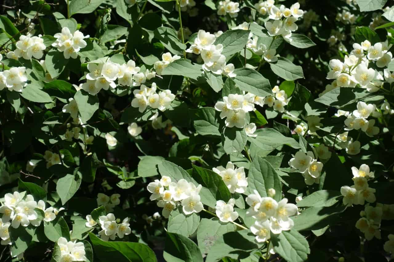 dogwoods are shrubs or trees and attract birds