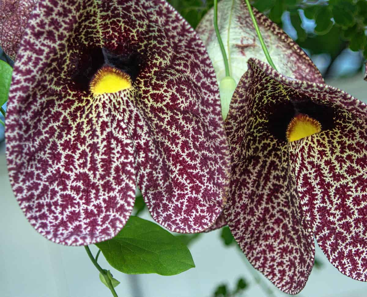 Dutchman's pipe is a stunning flower that attracts pipevine swallowtail butterflies