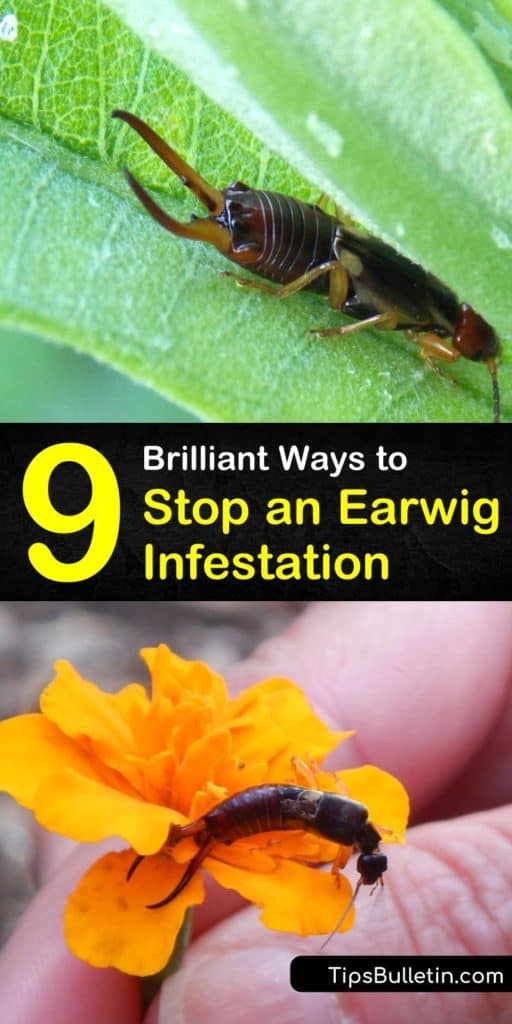 Learn how to prevent an earwig infestation by eliminating damp areas in and around your home. These reddish-brown insects hang out in large numbers in crevices and other hiding places and scavenge on everything from insects to kitchen scraps. #earwigcontrol #earwig #investation