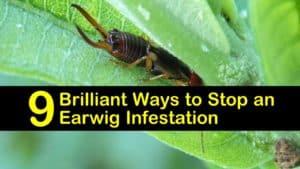 earwig infestation titleimg1