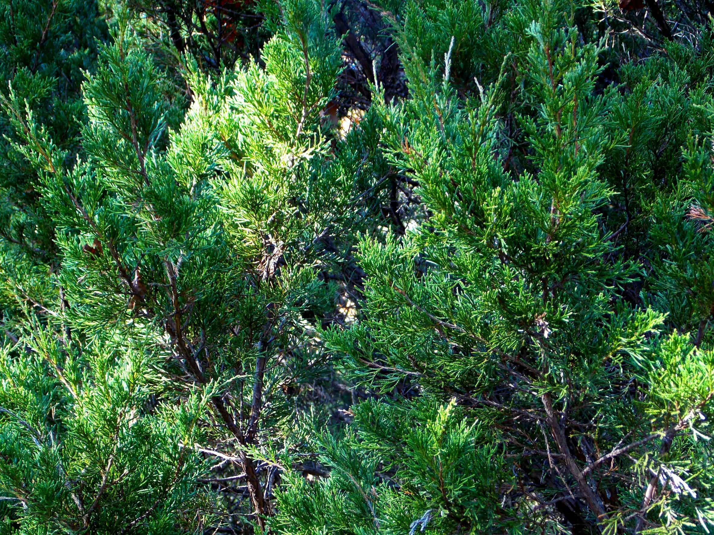 Eastern red cedar is not only an attractive evergreen but it is tough, too