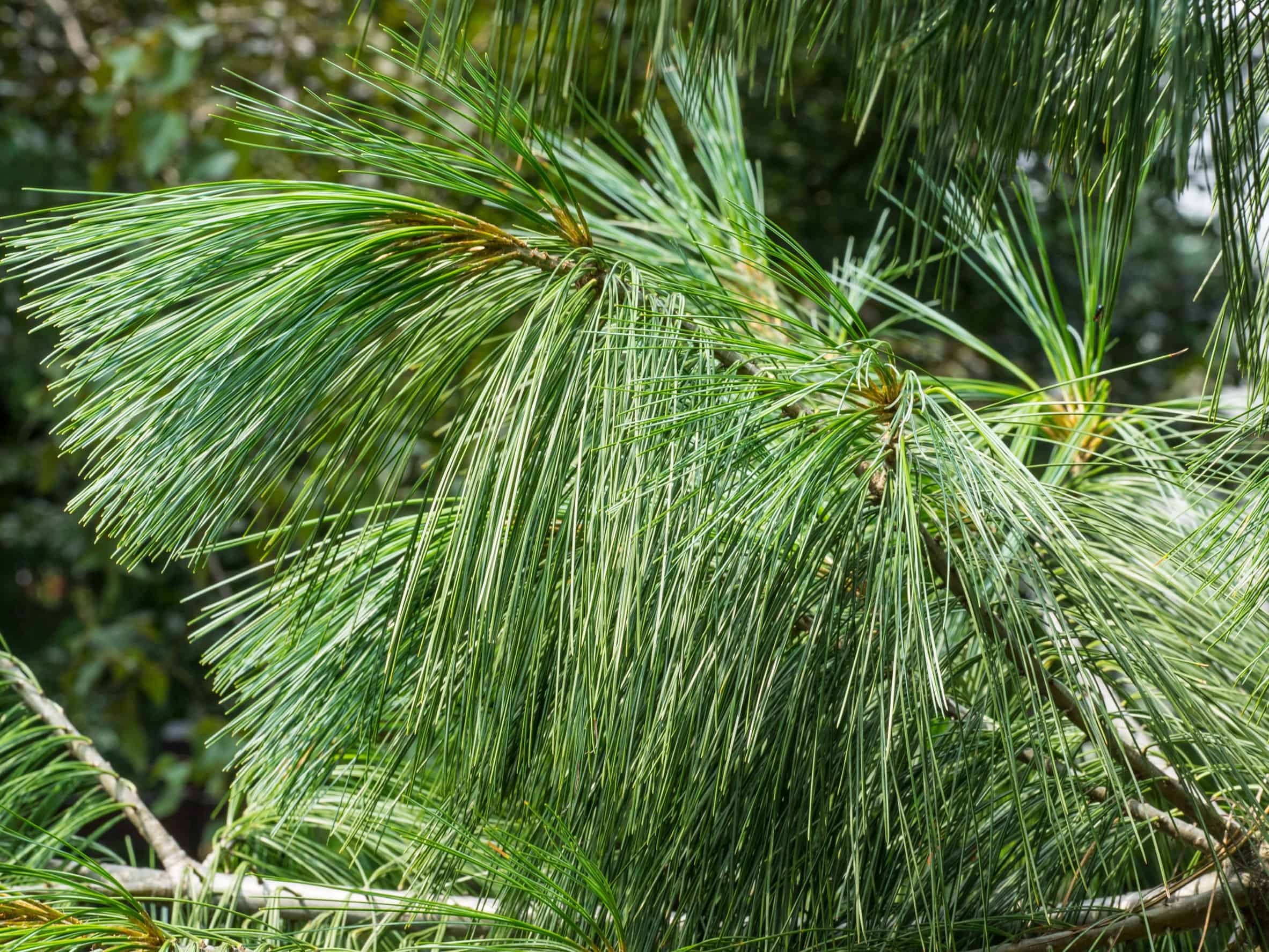 the Eastern white pine is an amazing evergreen tree