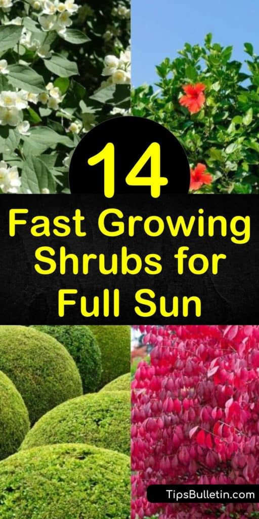 Discover how to give your yard high impact with fast growing, sun loving shrubs. Plant low maintenance hydrangea, dogwood, forsythia and privet in the yard and create a 'wow' factor with white flowers and colorful foliage. #fastgrowingshrubs #fullsun #shrubsforsun