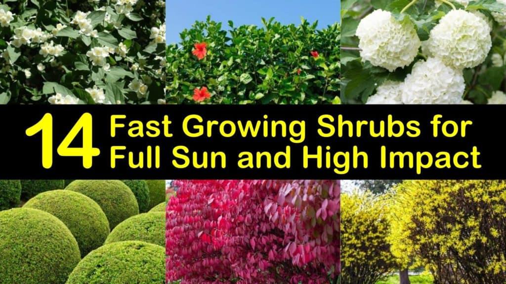 fast growing shrubs for full sun titleimg1