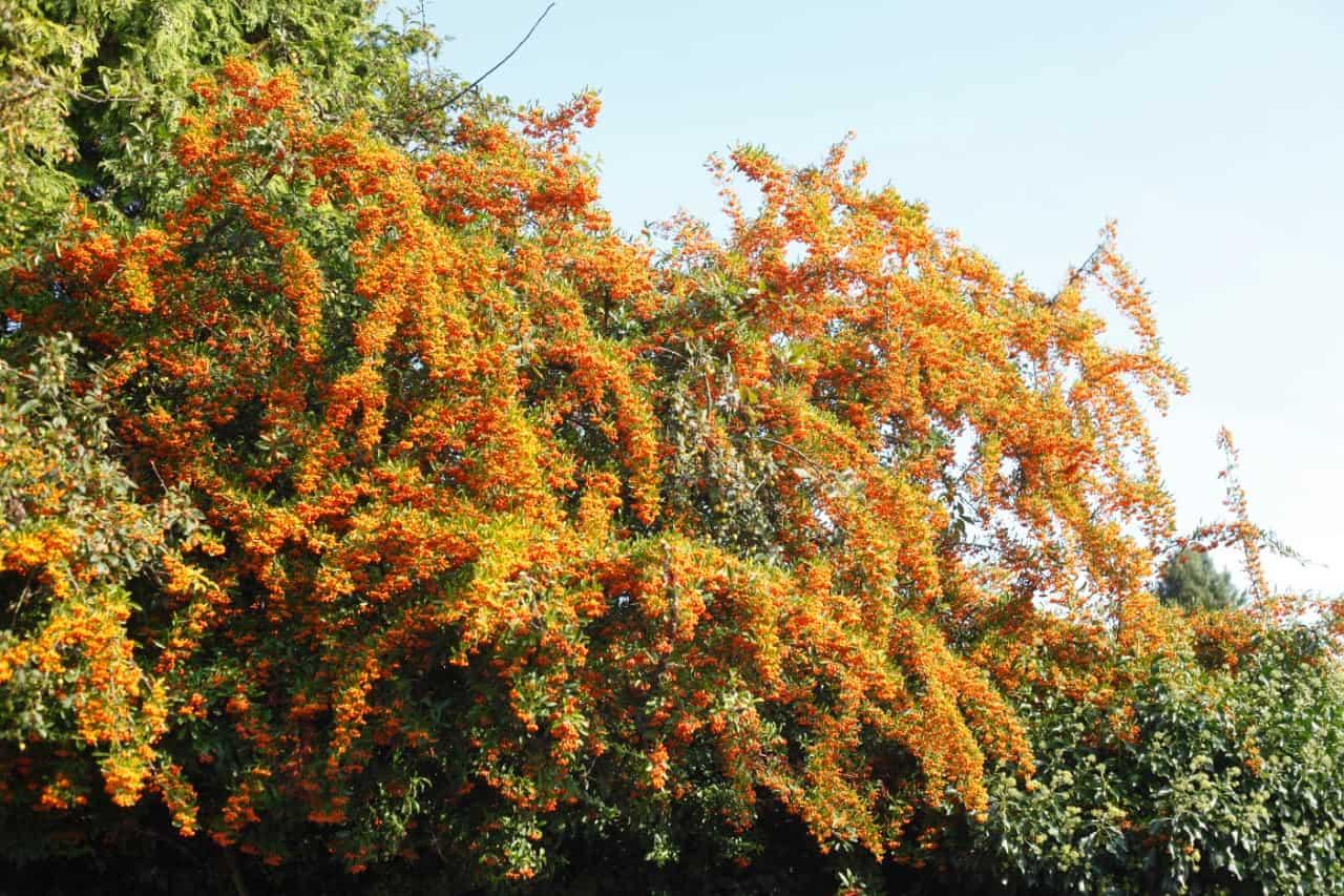 a full sun shrub, firethorn offer explosive winter color