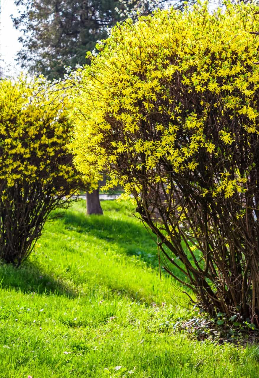 forsythia has gorgeous yellow-gold blooms in early spring